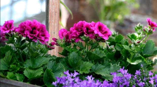 A story about geraniums and the Queen Mother's garden