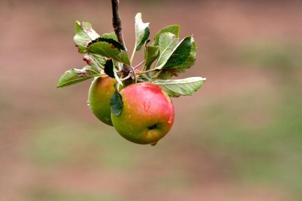 apple_rain