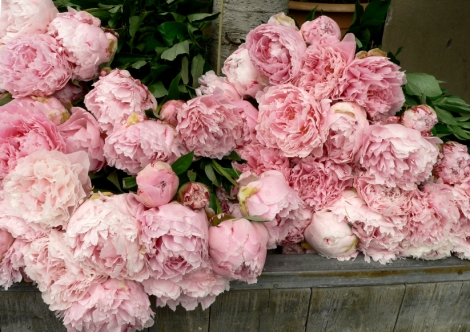 peonies for spring the potting shed