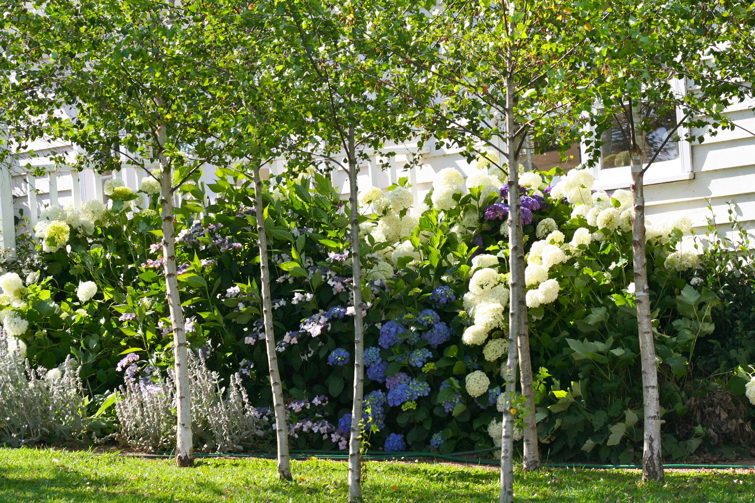 Silver birch the potting shed for Garden trees photos