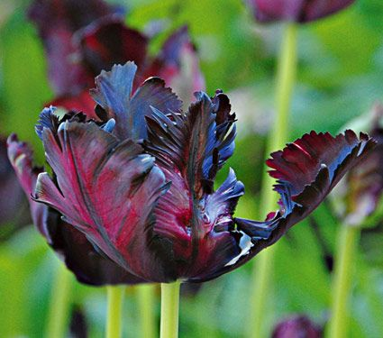 tulipa_blackparrot
