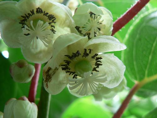 medlar_blossom