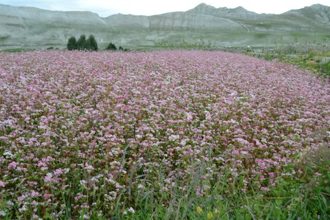 Grain crop in flower -Upper Mustang
