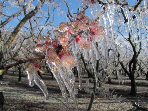 apricot_blossom_is_covered_in_ice_on_an_earnscleug_5051bff576