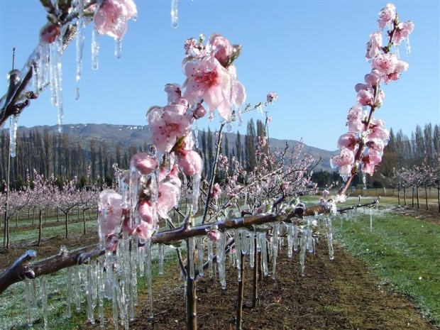 ice_covers_peach_blossom_on_an_earnscleugh_orchard_4e78758b13